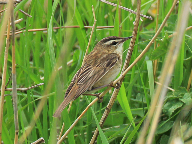 A Sedge Warbler - Arcot Pond - Northumberland