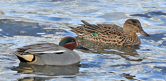 A pair of Teal - Backworth Pond - North Tyneside