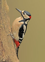 A Great Spotted Woodpecker - Northumberland - Birdwatching Sites