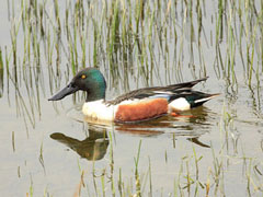 A Shoveler - Newcastle upon Tyne